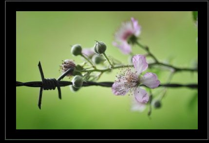 Beauty And Barbed Wire